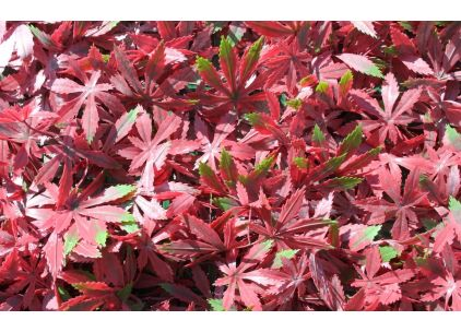 Wonder-Wal Artificial Wall Screening Red Acer