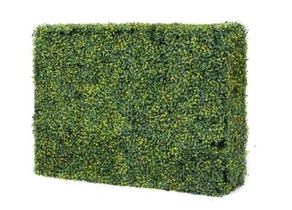 Buxus Variegated Buxus Hedging